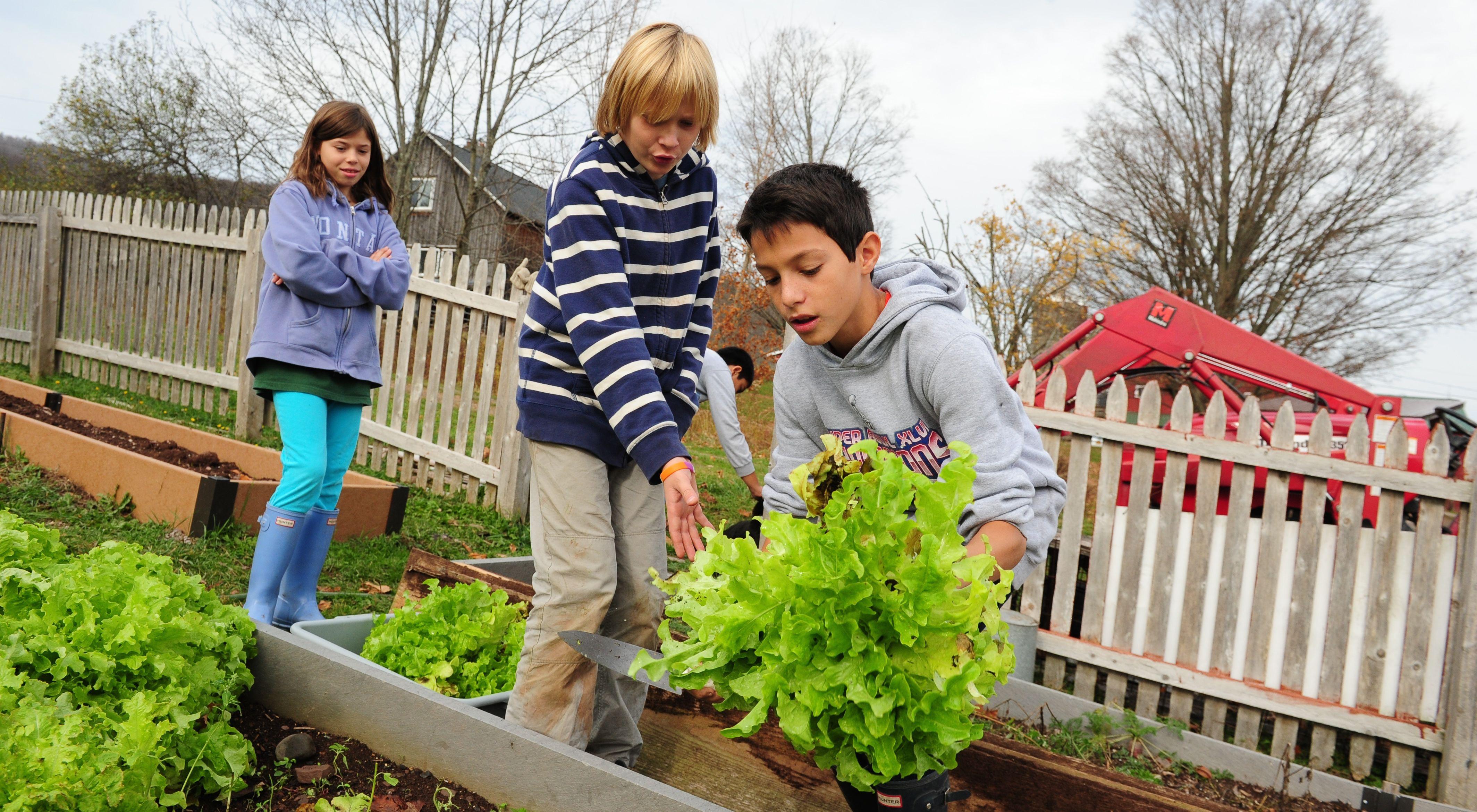 three children harvesting lettuce from a garden